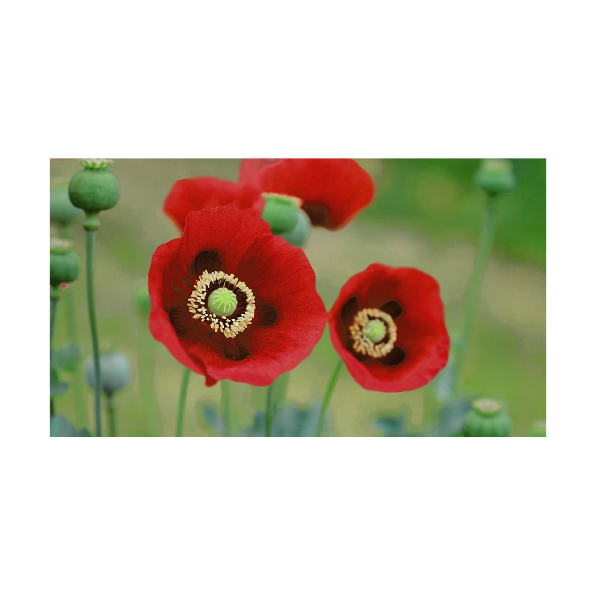 A photorealistic drawing of opium poppies that have blossomed red, which typically do not blossom red. Red poppies typically represent loss in conflict and this meant to represent those lost in the opioid epidemic